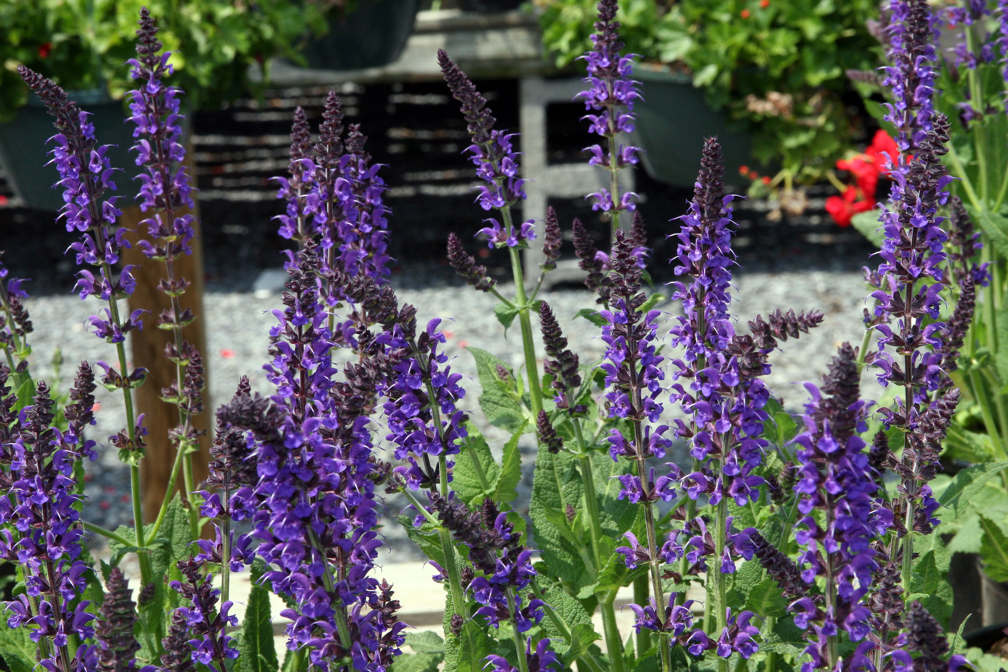 Meadow Sage Care How To Grow The Perennial Salvia Plant