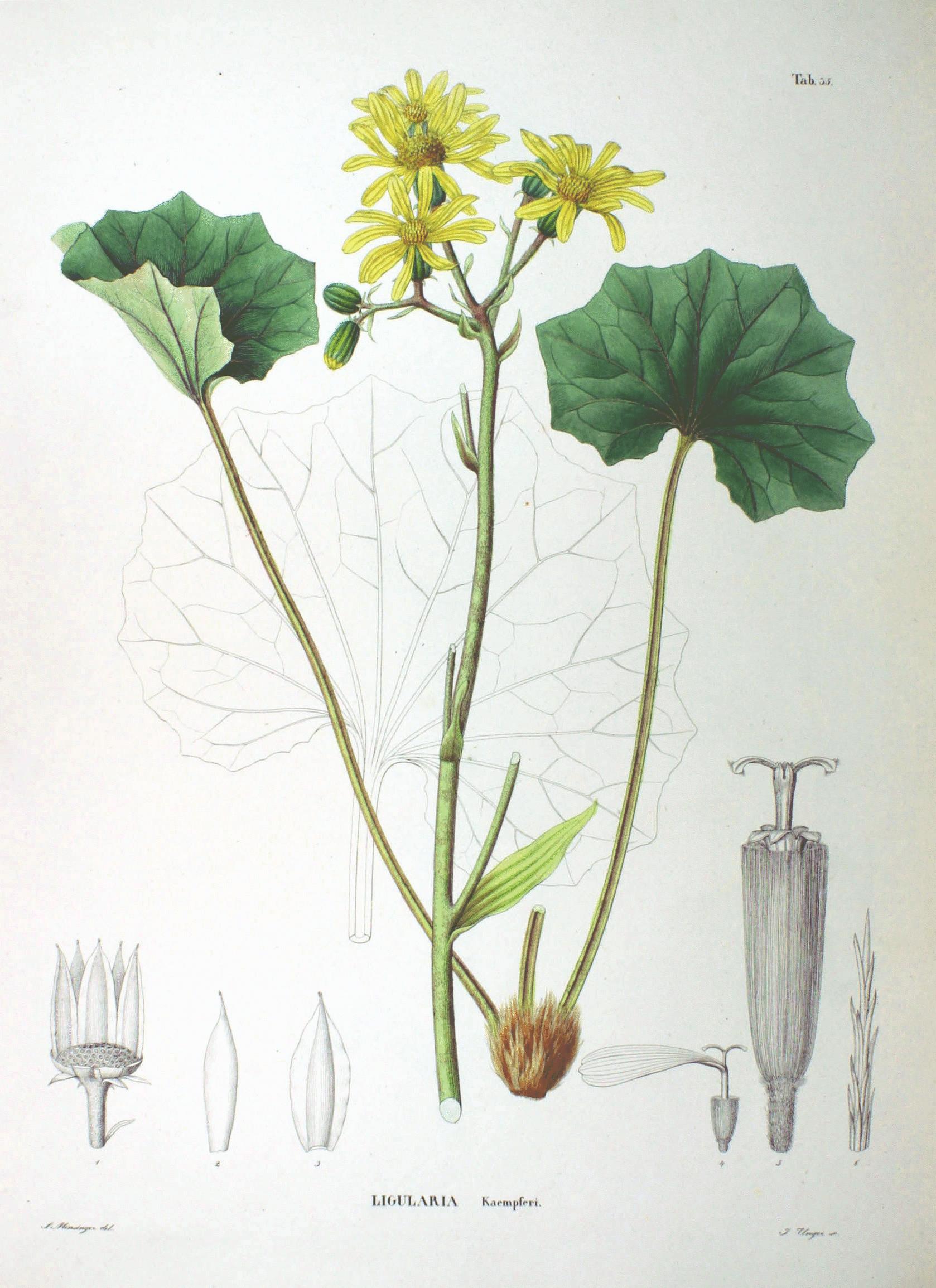 File Senecio kaempferi SZ35.png - Wikimedia Commons de6fa1be337