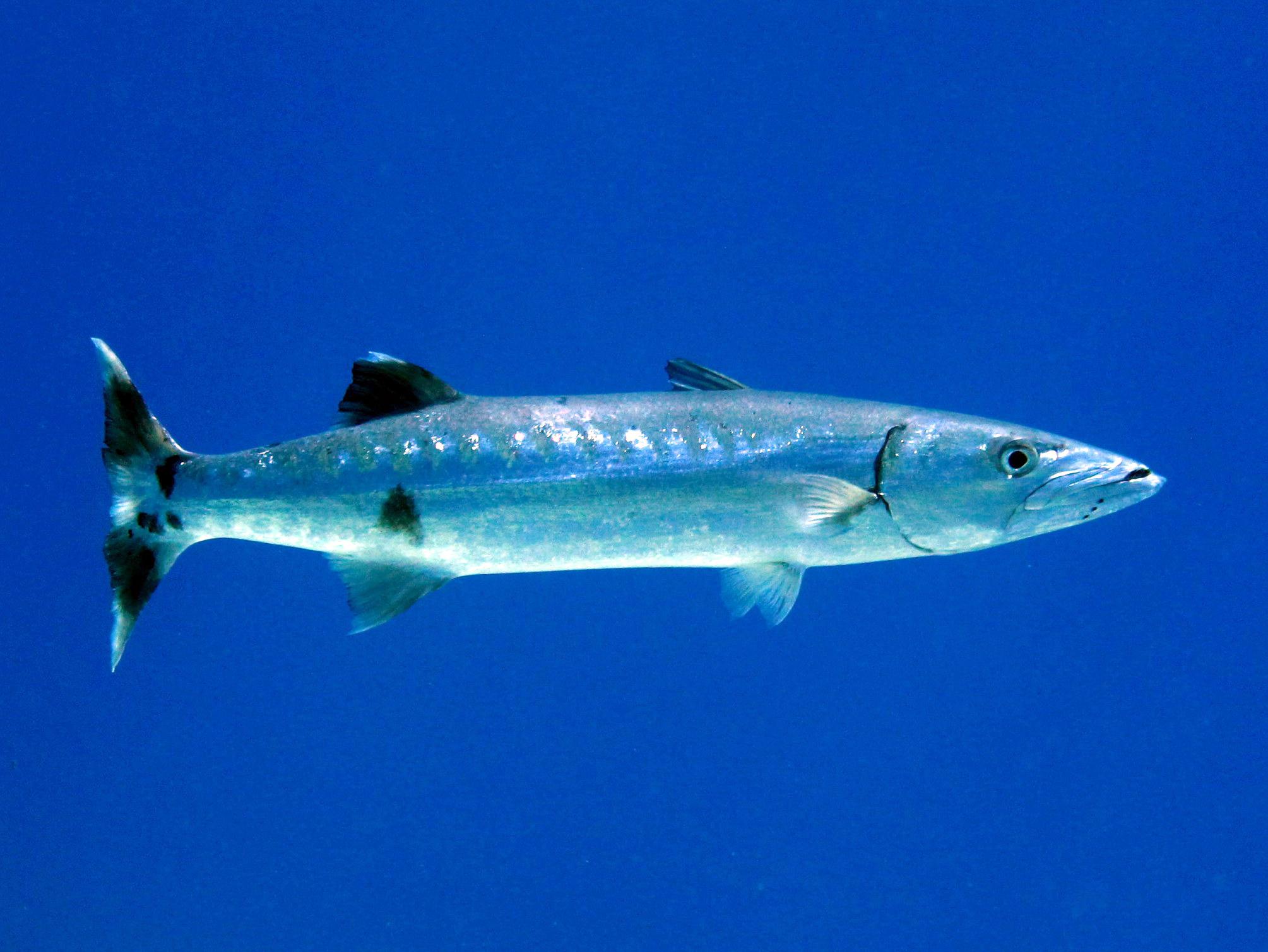 Рыба барракуда фото и описание