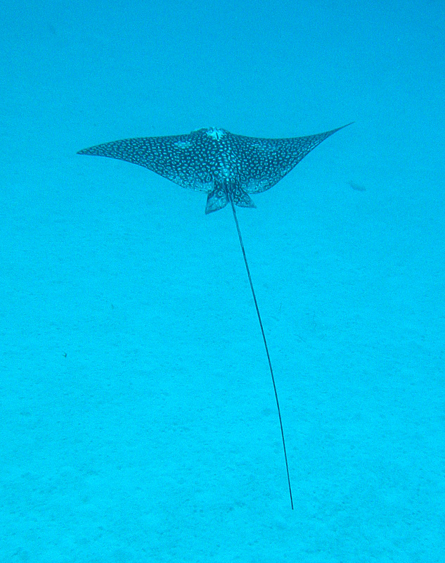 los_roques_eagle_ray