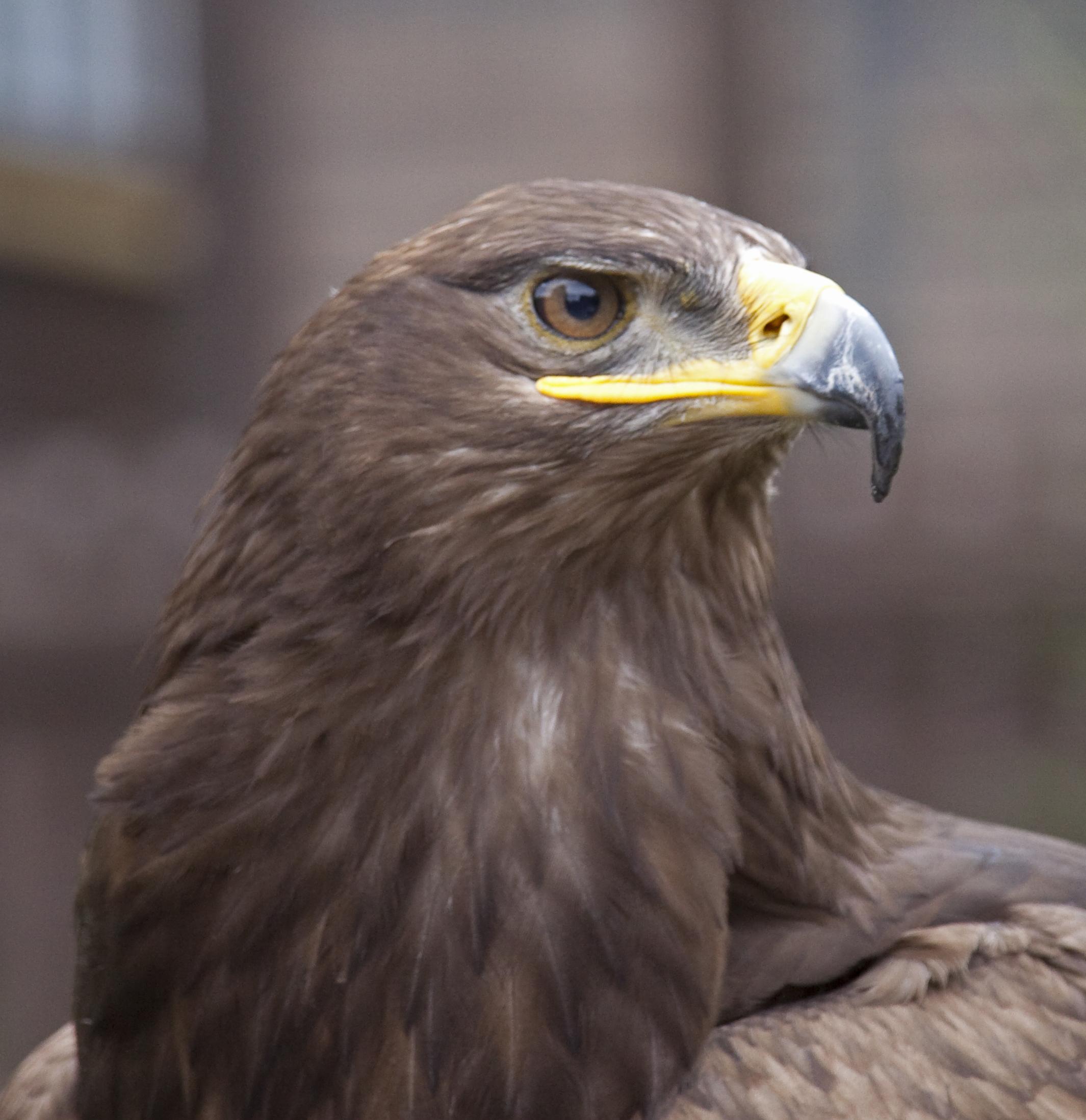 Wikipedia Steppe Eagle File:steppe Eagle