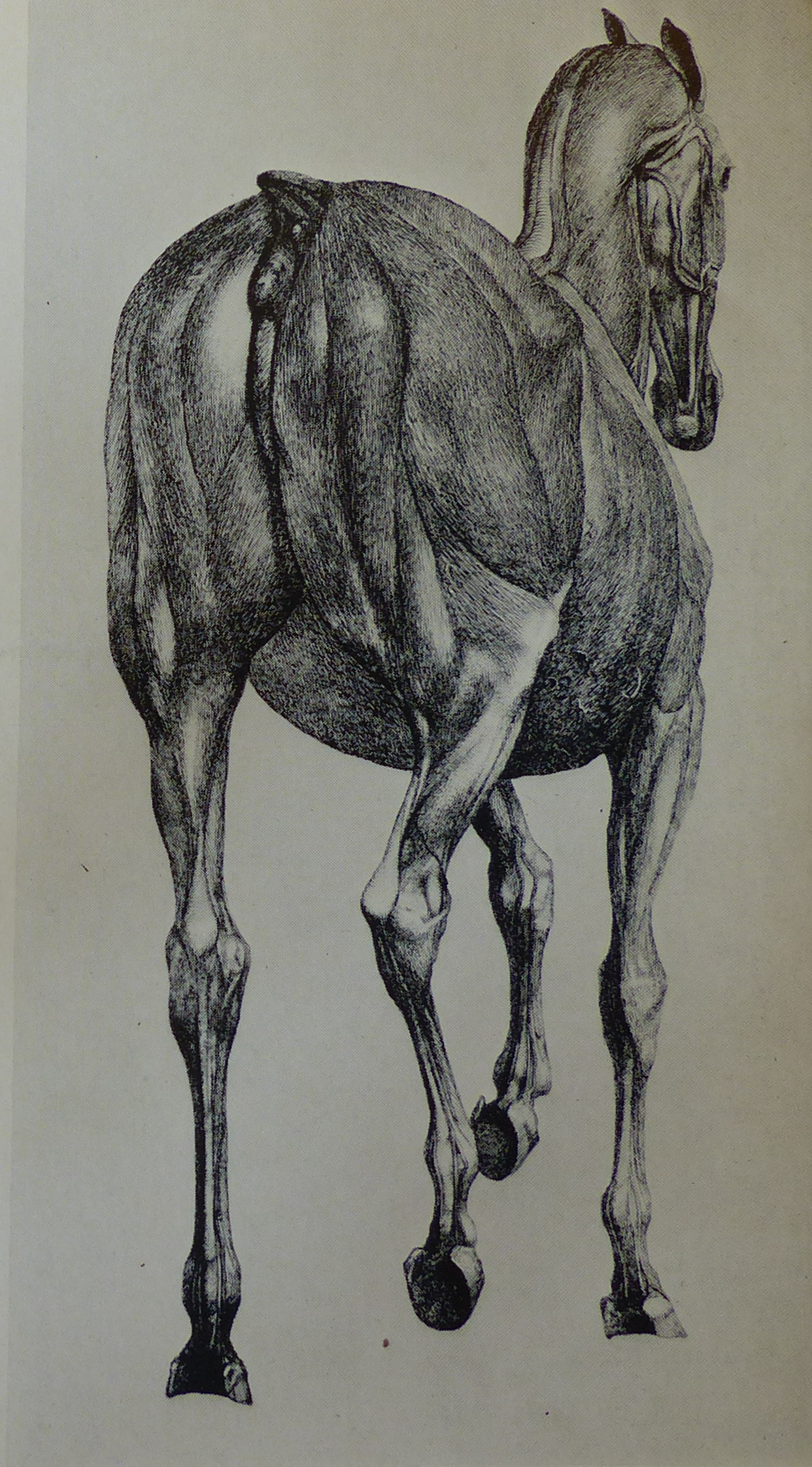 Filestubbs Anatomy Of The Horse 13g Wikimedia Commons