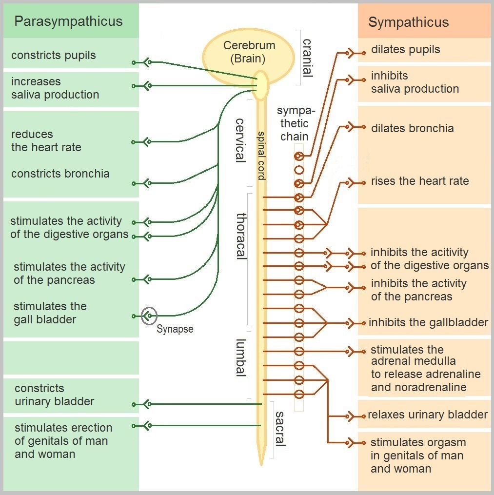 Vegetative dysfunction: a clinical picture of pathology