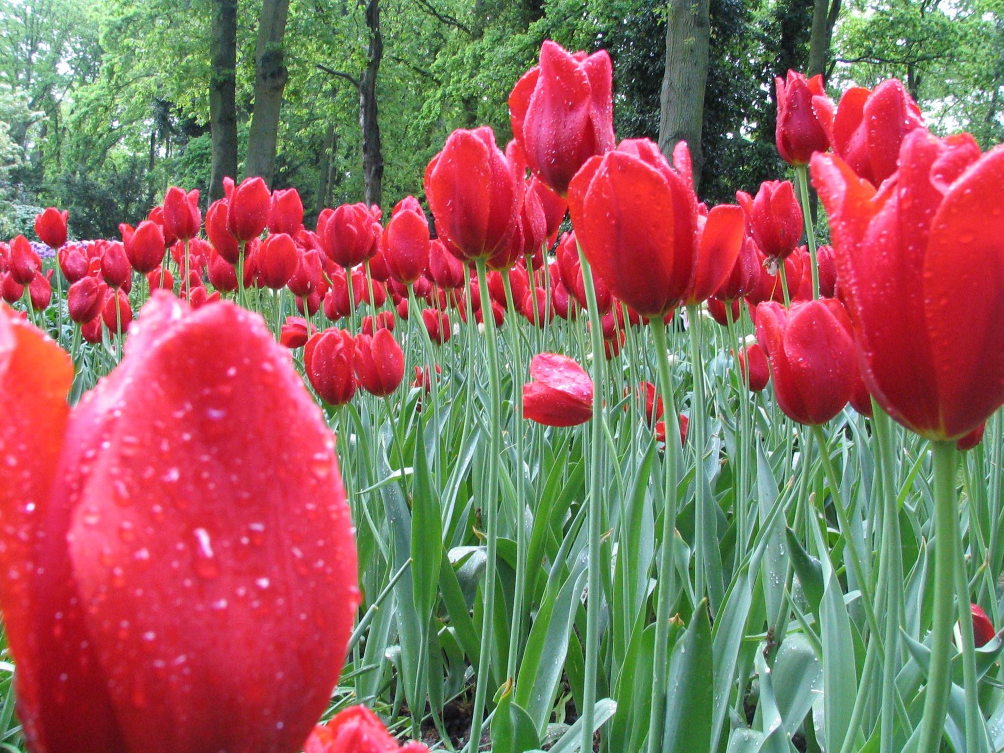 Tulips in Keukenhof,