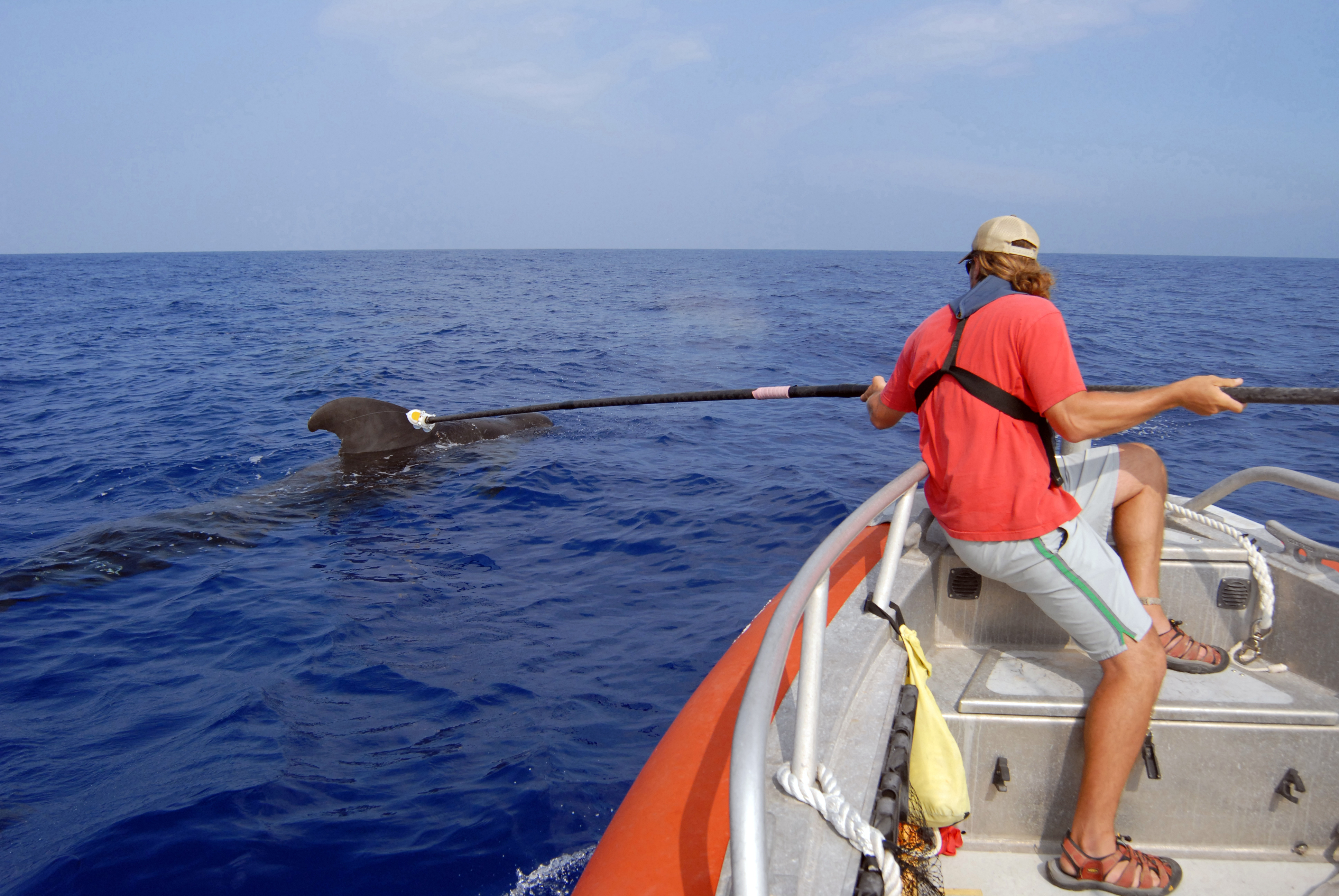 University Marine Laboratory researcher, attaches a D-TAG to a pilot