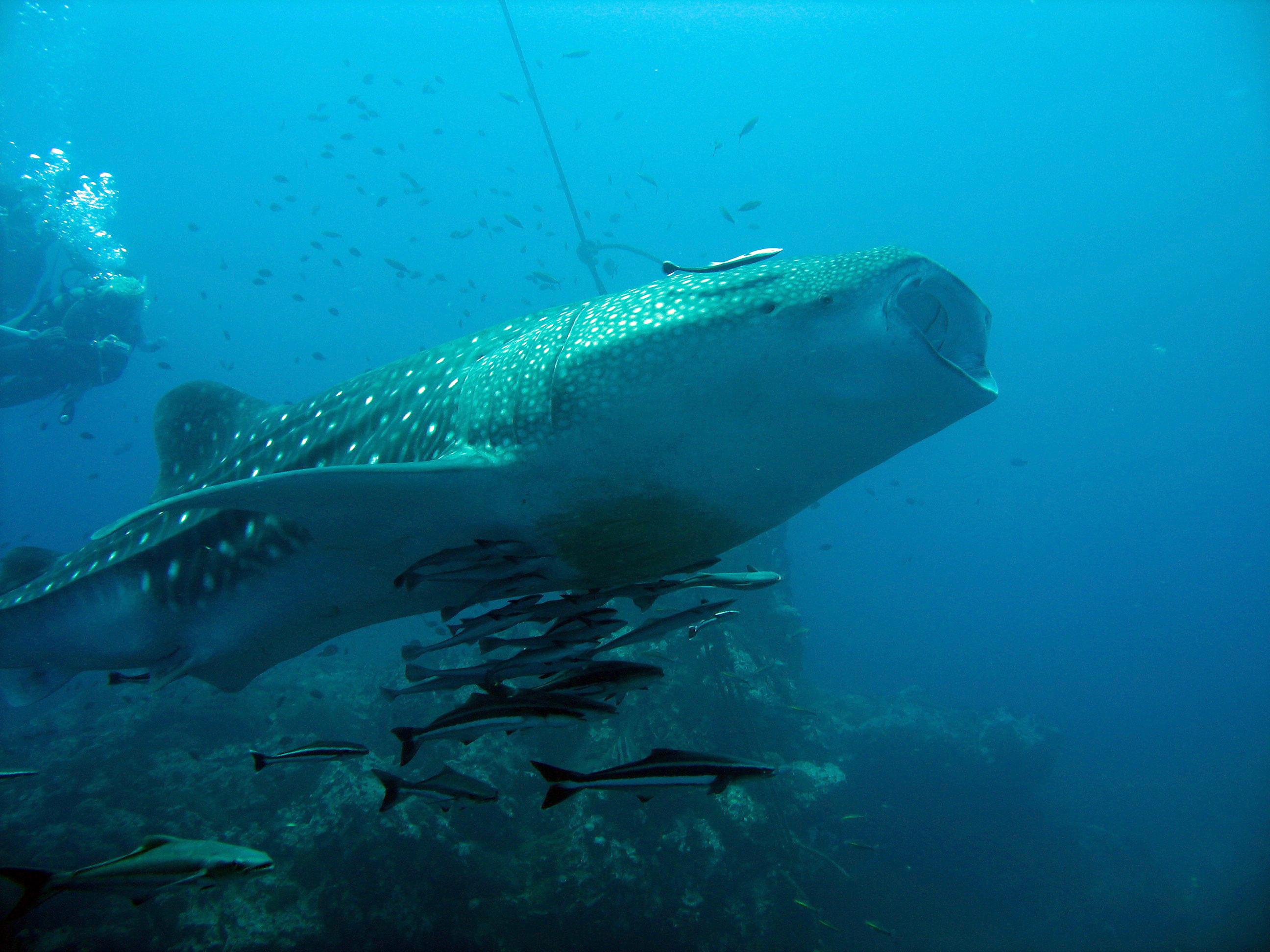 Whaleshark1.JPG