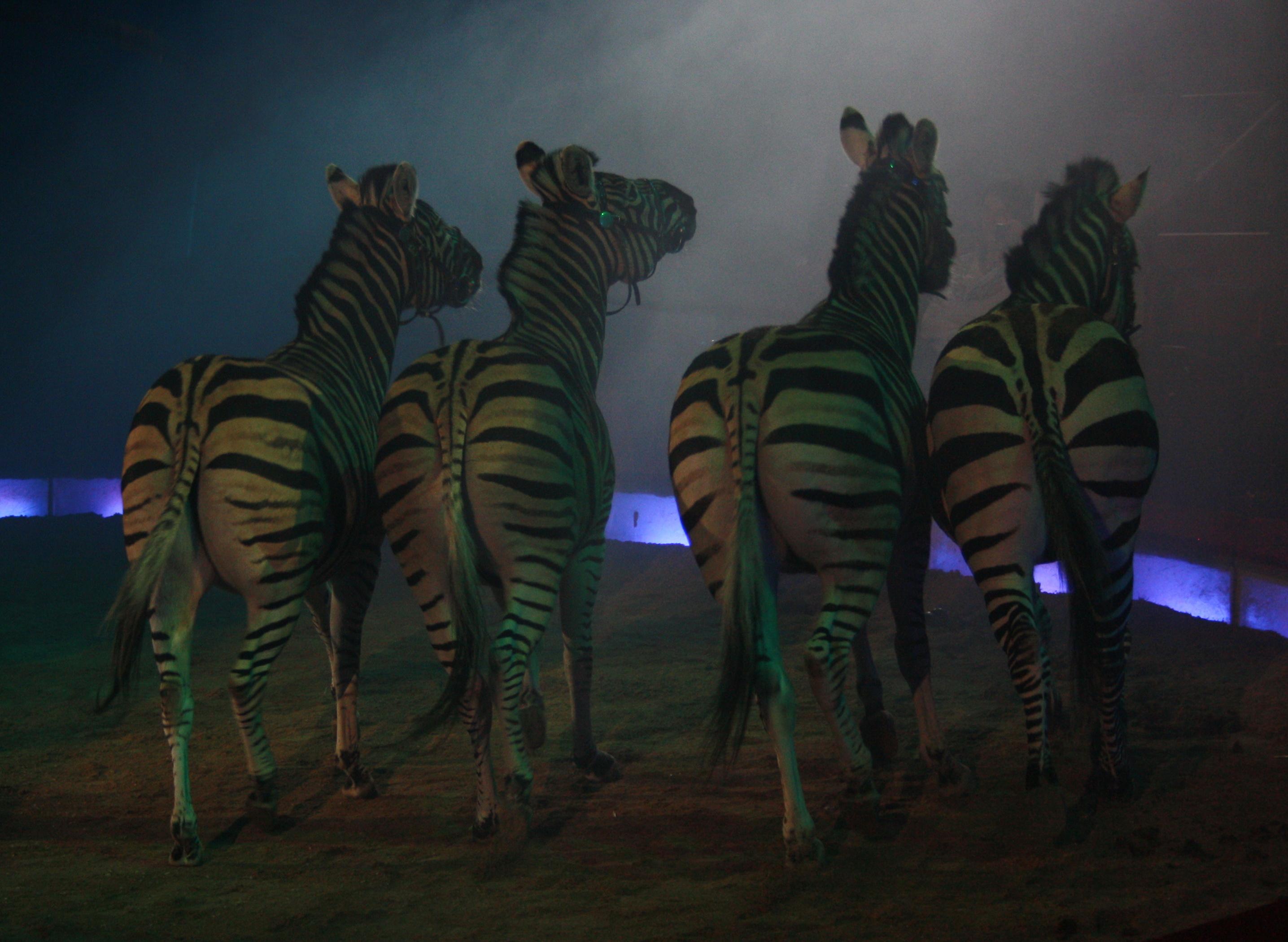 Zebras im Zirkus