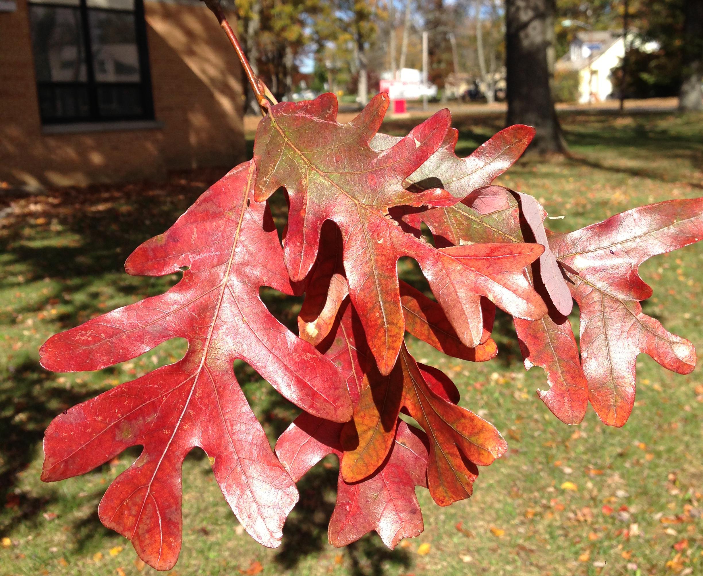 Quercus alba wiki everipedia