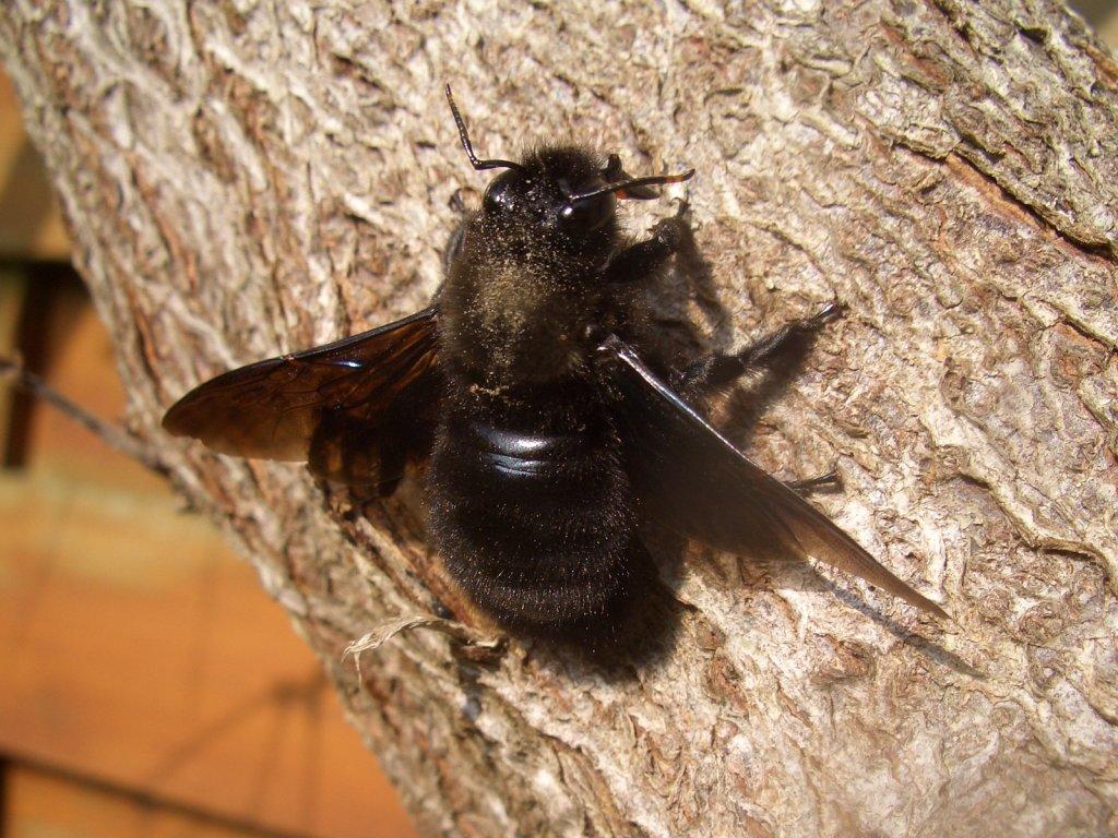 Xylocopinae wikipedia for Bete qui mange le bois