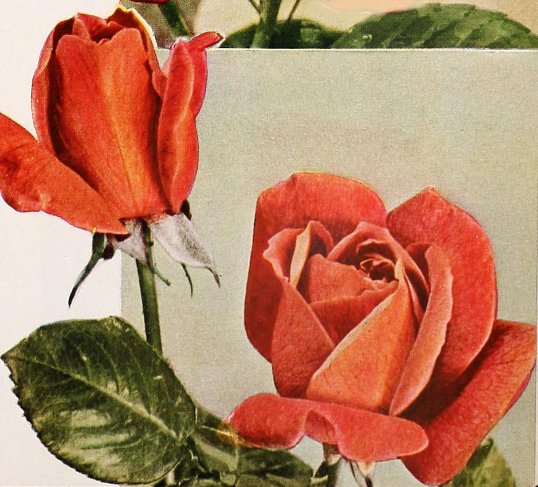File Armstrong Nurseries 1936 20327296912 Henrich Gaede Jpg