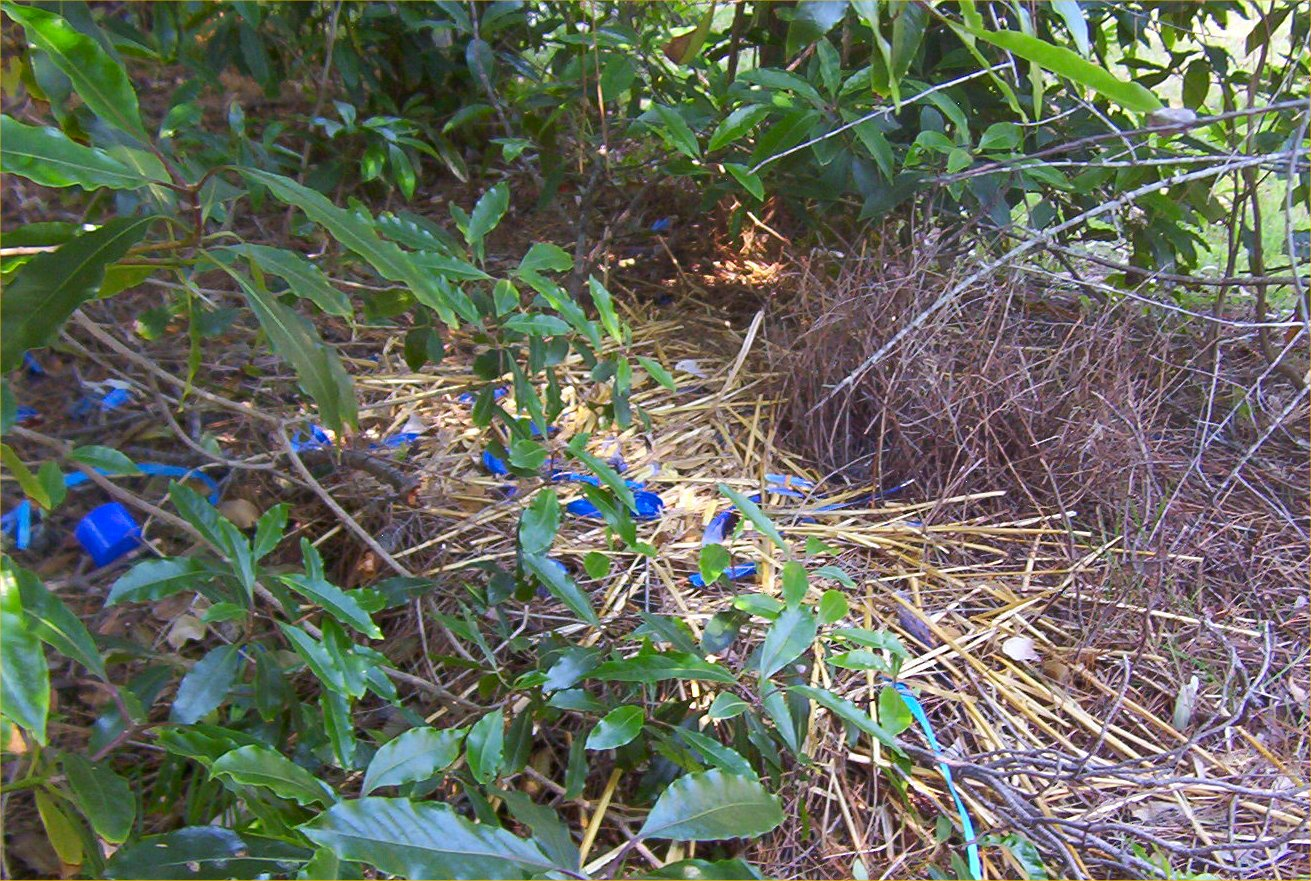 Brower Bird Nest