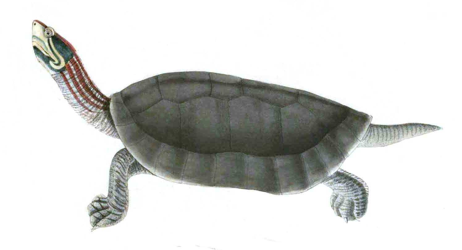 Red Crowned Roofed Turtle Wikipedia