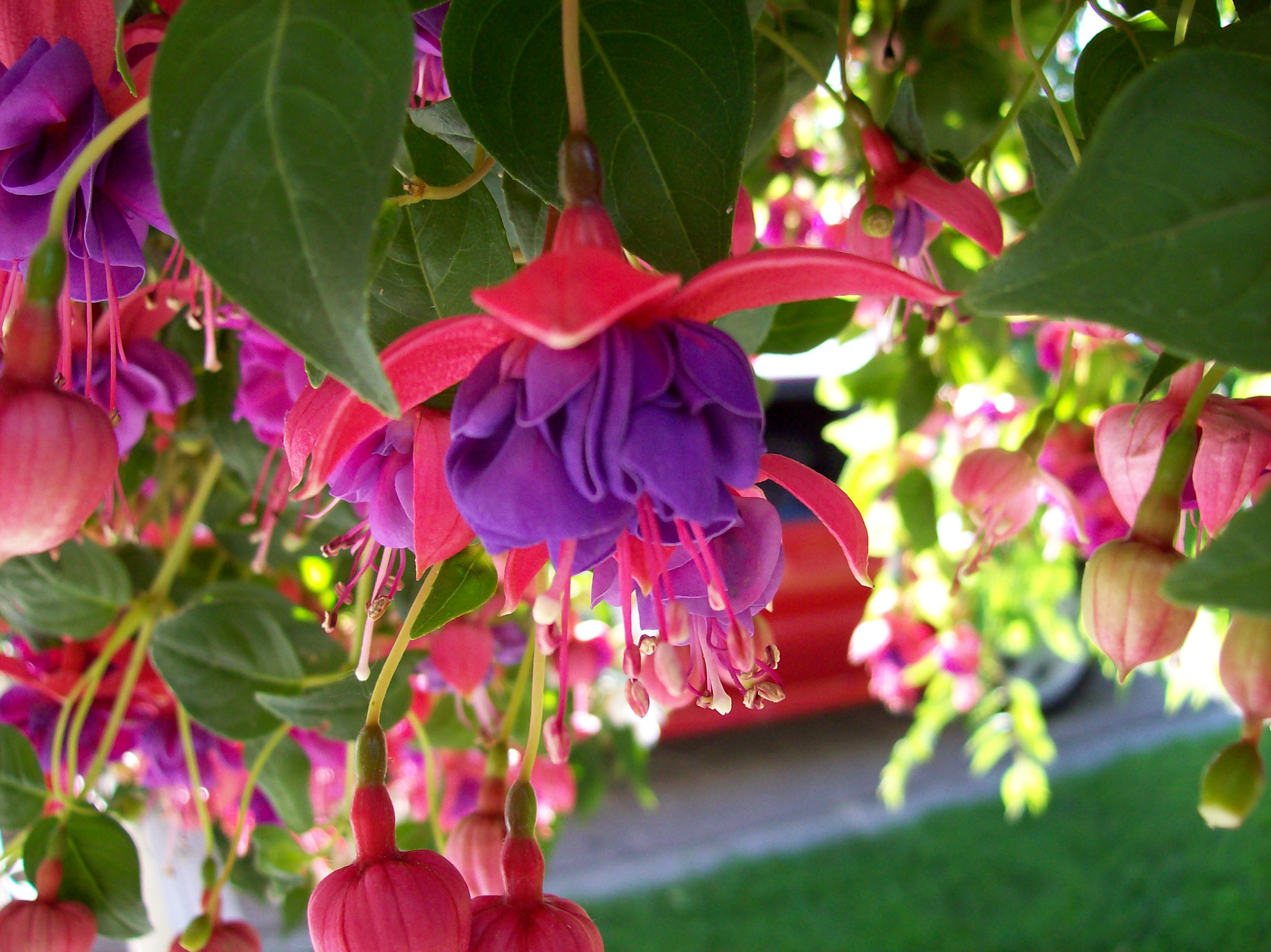 Picture of Live Fuchsia Blue Eyes Hanging Plant Fit 5GAL Pot