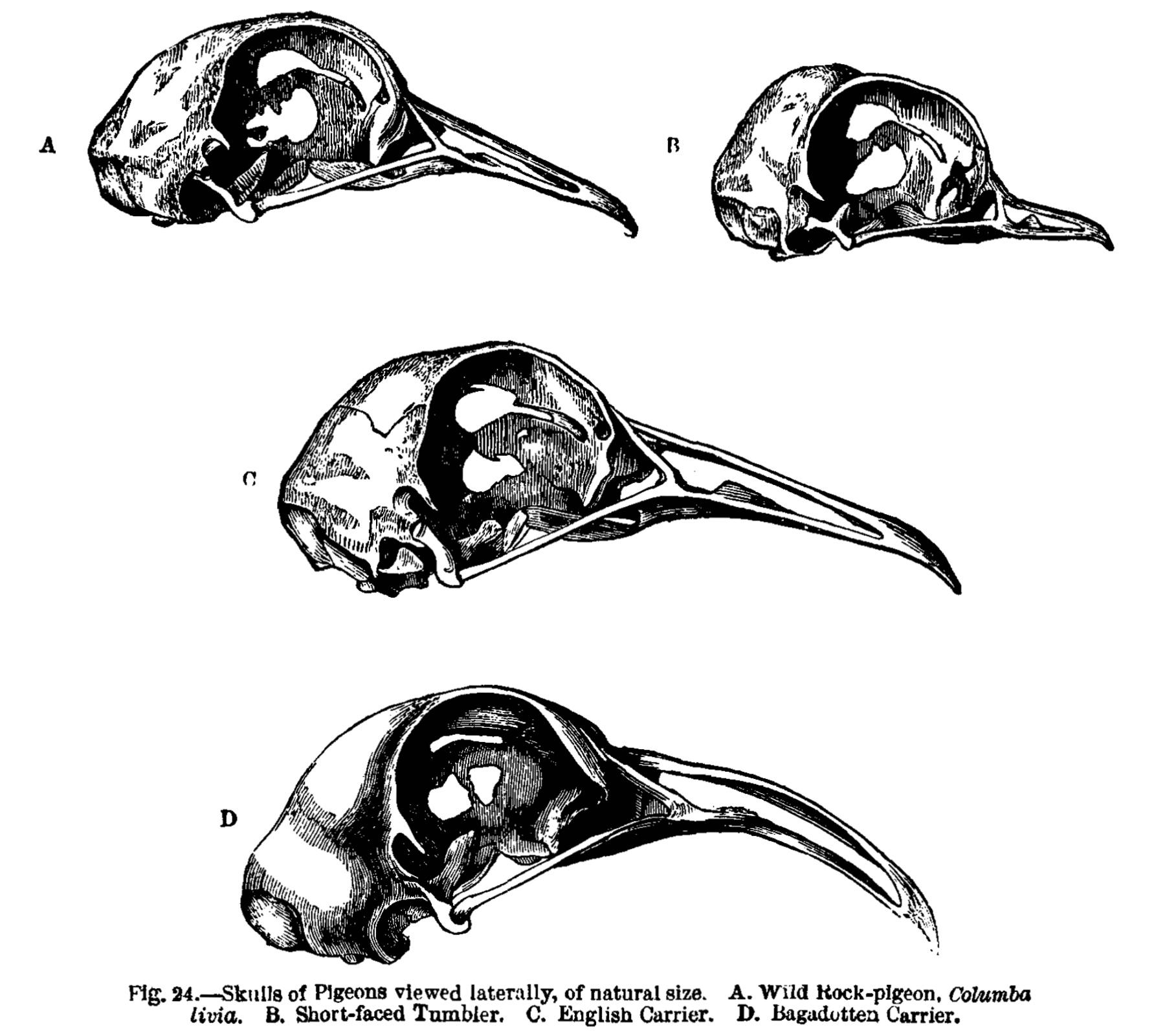 file charles darwin pigeon skulls png  file charles darwin pigeon skulls png
