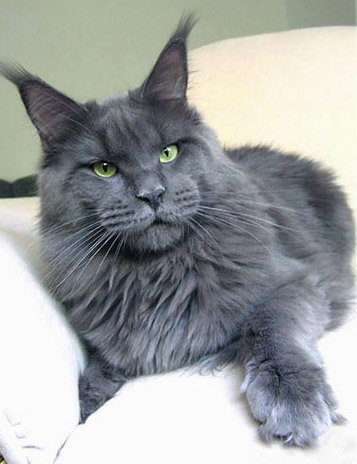 Russian Blue Cat Breeders Sa