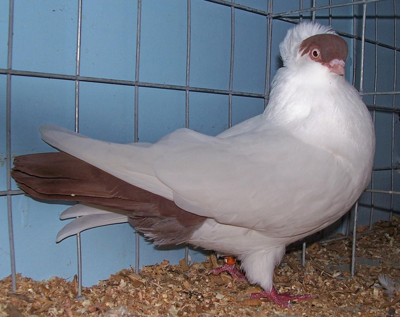 Pigeon Pictures