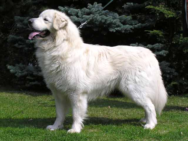 ABCs of Animal World: Amazingly Beautiful All-White Breeds of Dog