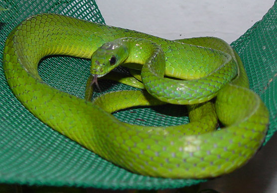 Green Snake Photos | www.pixshark.com - Images Galleries ...