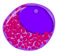 Eosonophilic promyelocyte.png
