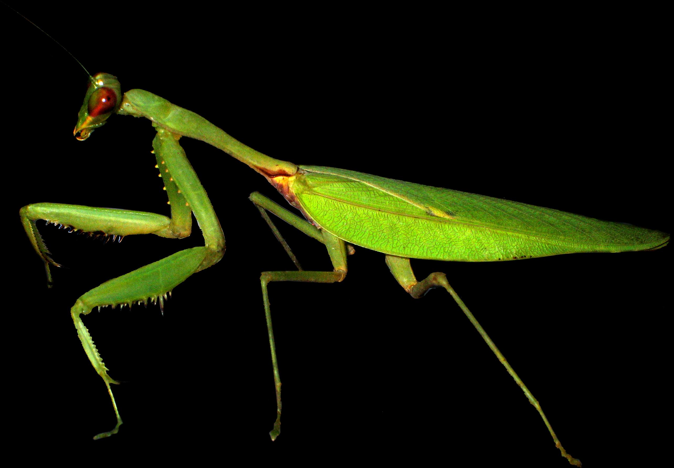 fichier european mantis mante religieuse png wikip u00e9dia Dragonfly Clip Art Dragonfly Clip Art