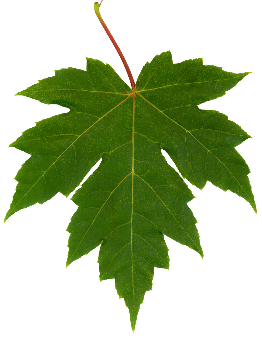 Maple Leaf Description File:freeman Maple Leaf.jpg