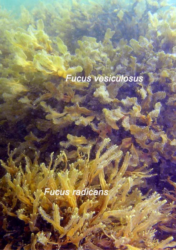 Fucus radicans - Wikip...