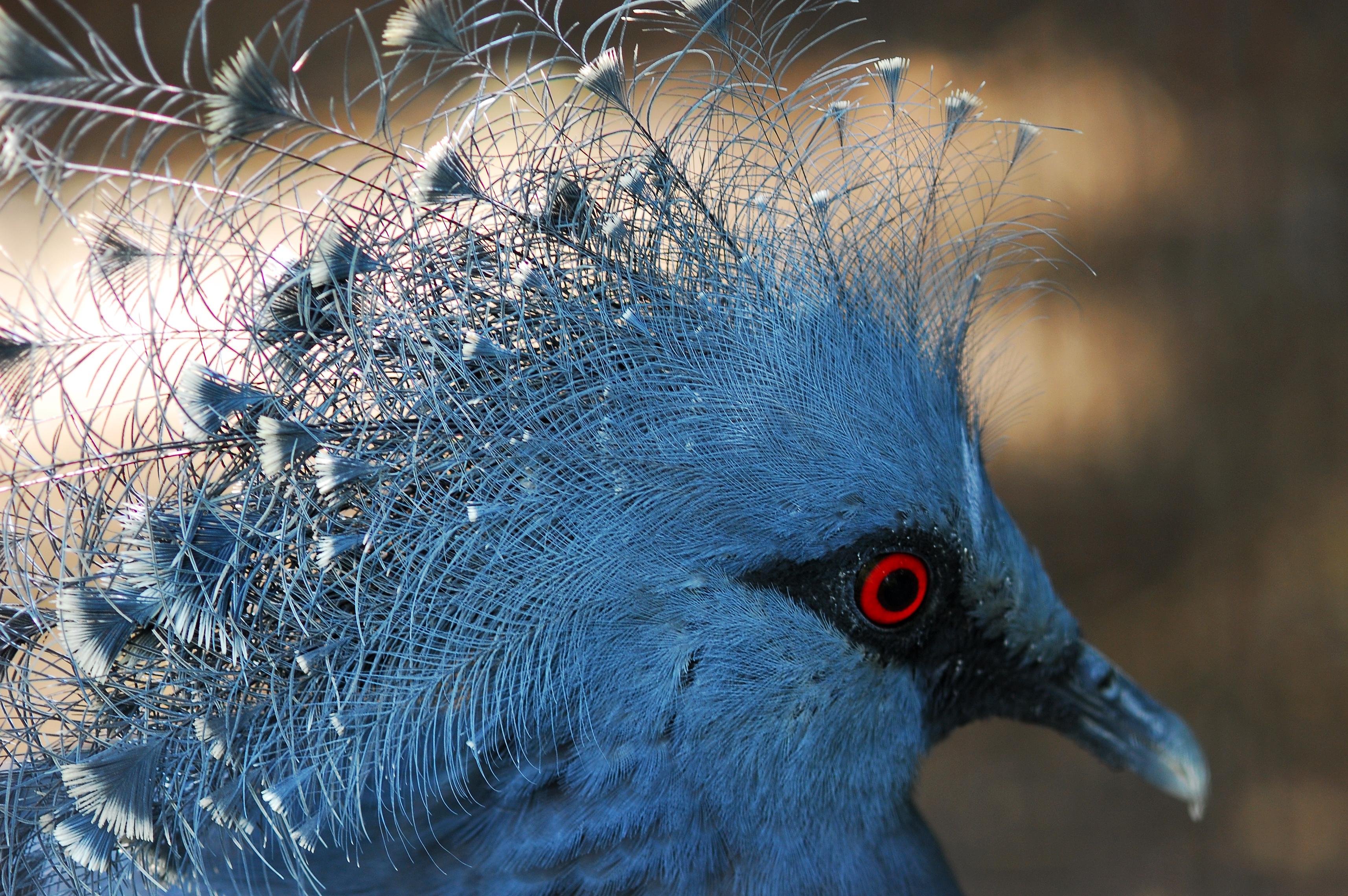 Guria pigeon