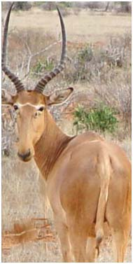 Hunter-Antilope (Beatragus hunteri)