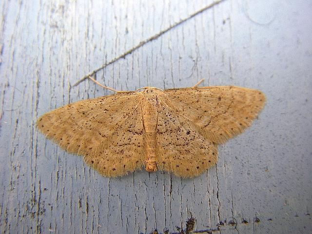 Idaea sylvestraria. Location: France - Languedoc Rousillon