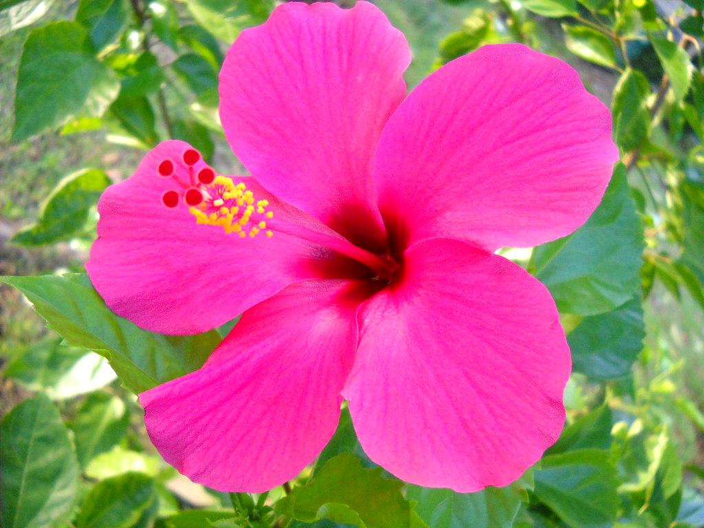 19 Gambar Bunga Sepatu