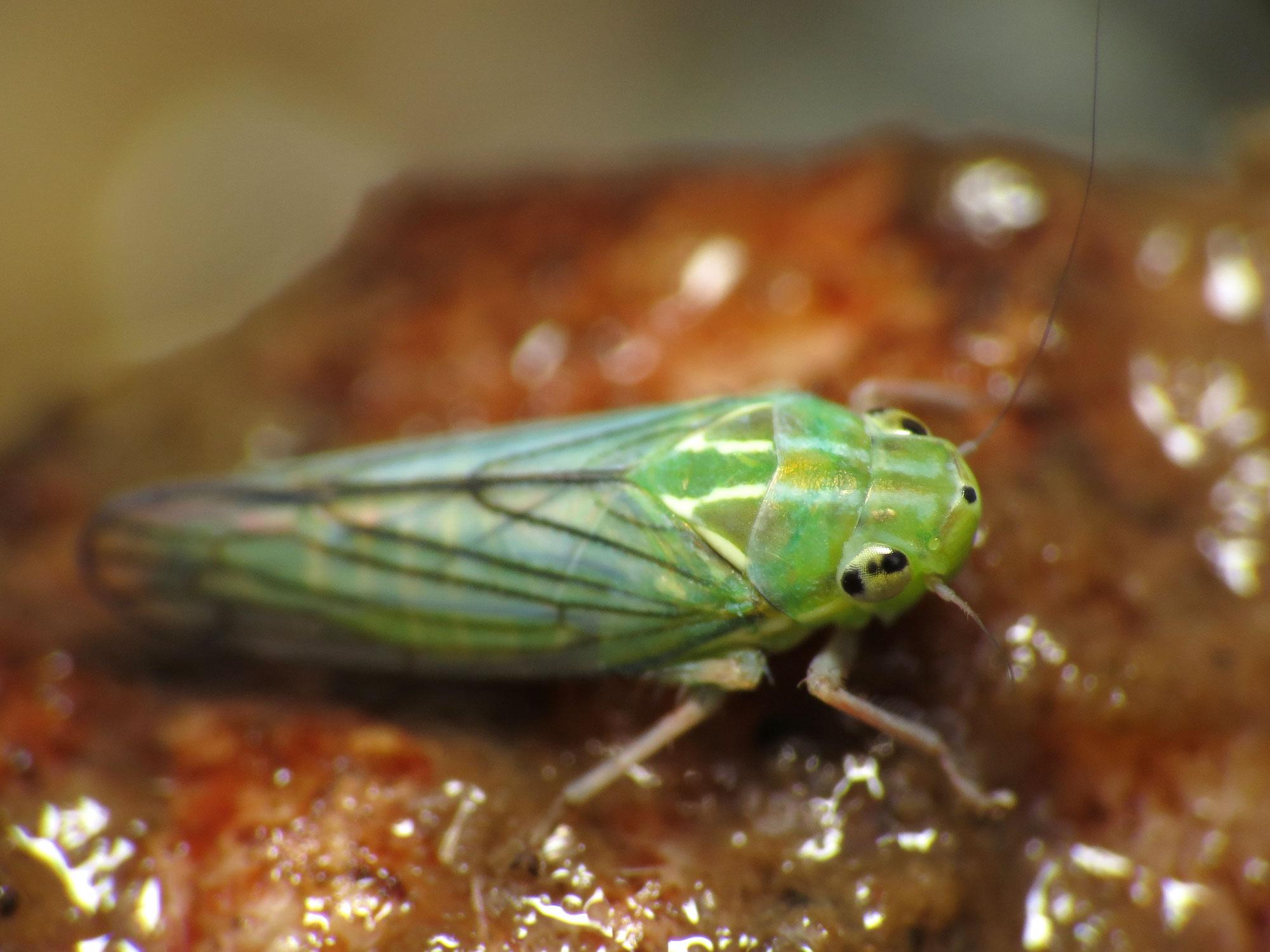 leafhopper - flickr - treegrow (9).jpg