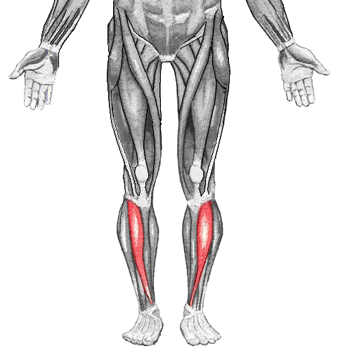 Illustration showing the muscle groups of the lower body.