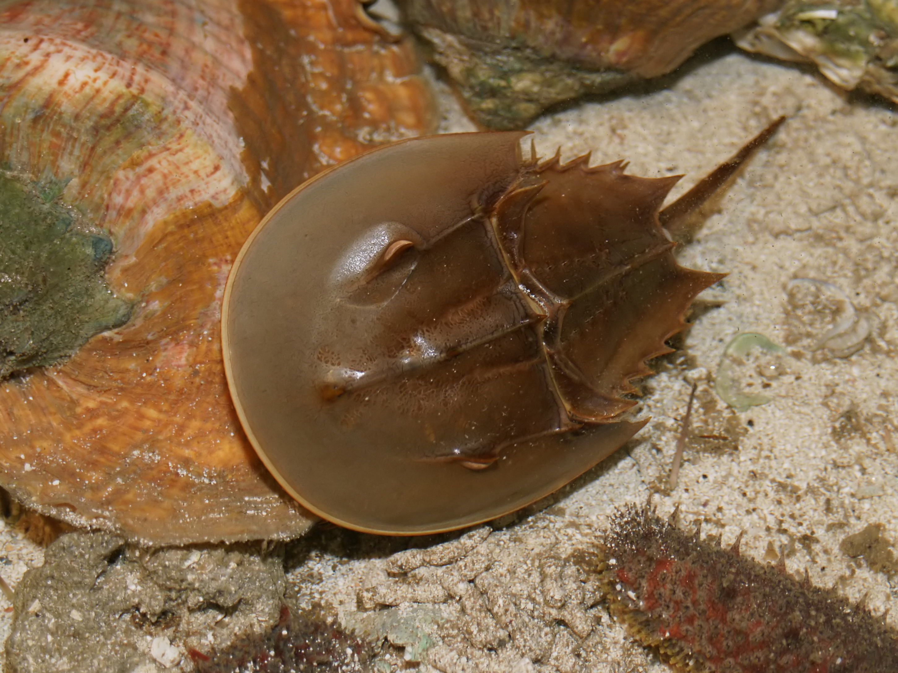 Limulus polyphemus from Wikipedia