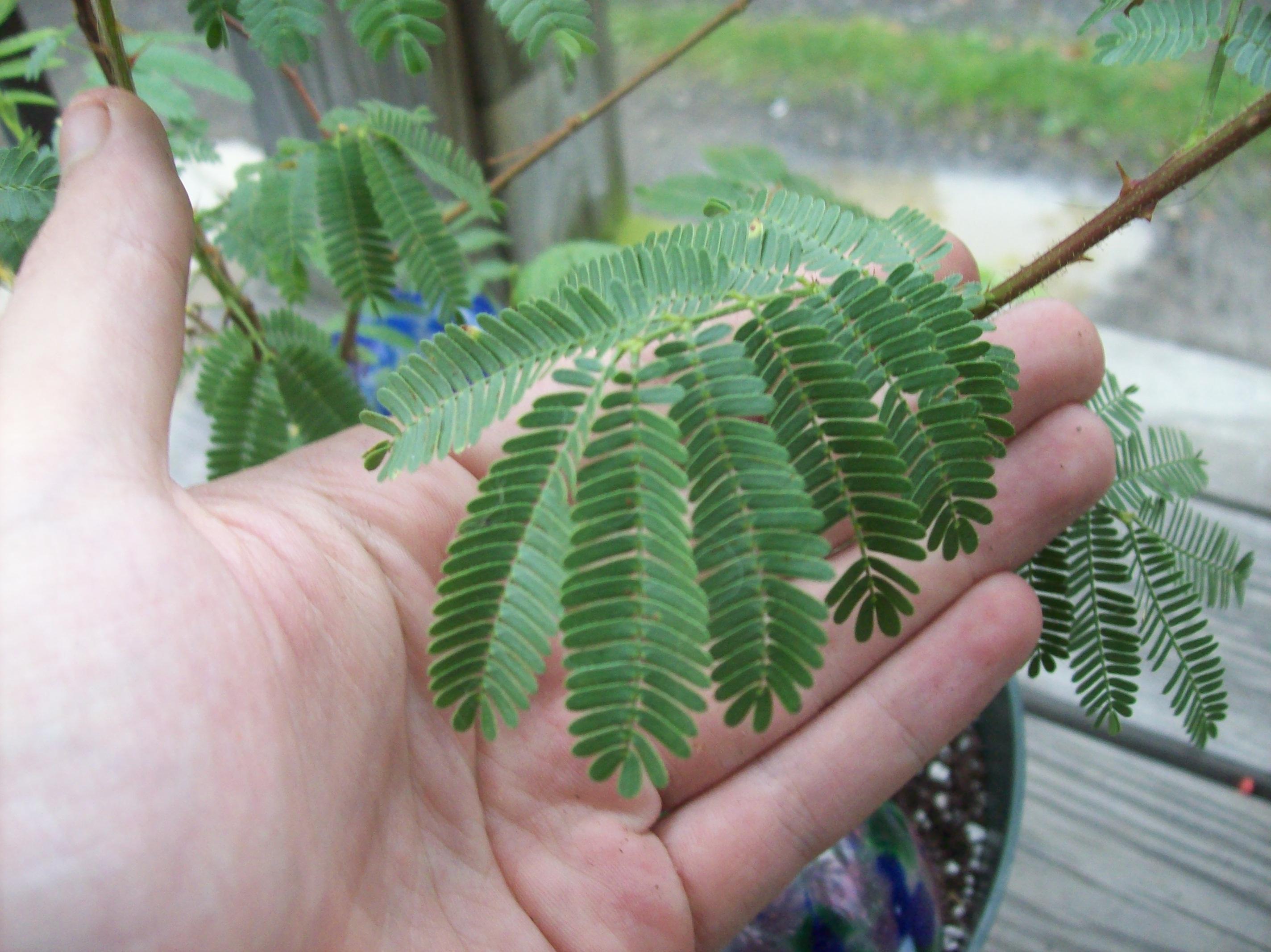 Tepezcohuite plant