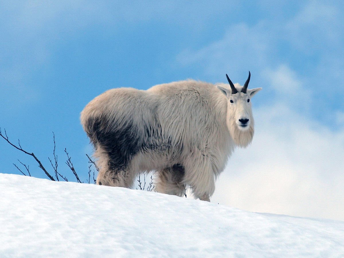 https://upload.wikimedia.org/wikipedia/commons/c/c6/Mt_Goat_Std_Snow_137.jpg