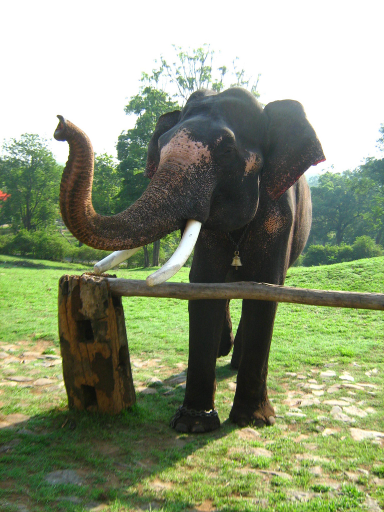 Mudumalai elephant.jpg