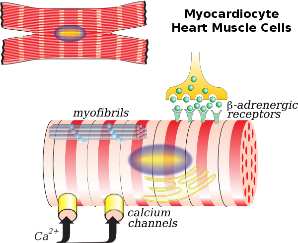 Cardiac muscle cell - Wikipedia