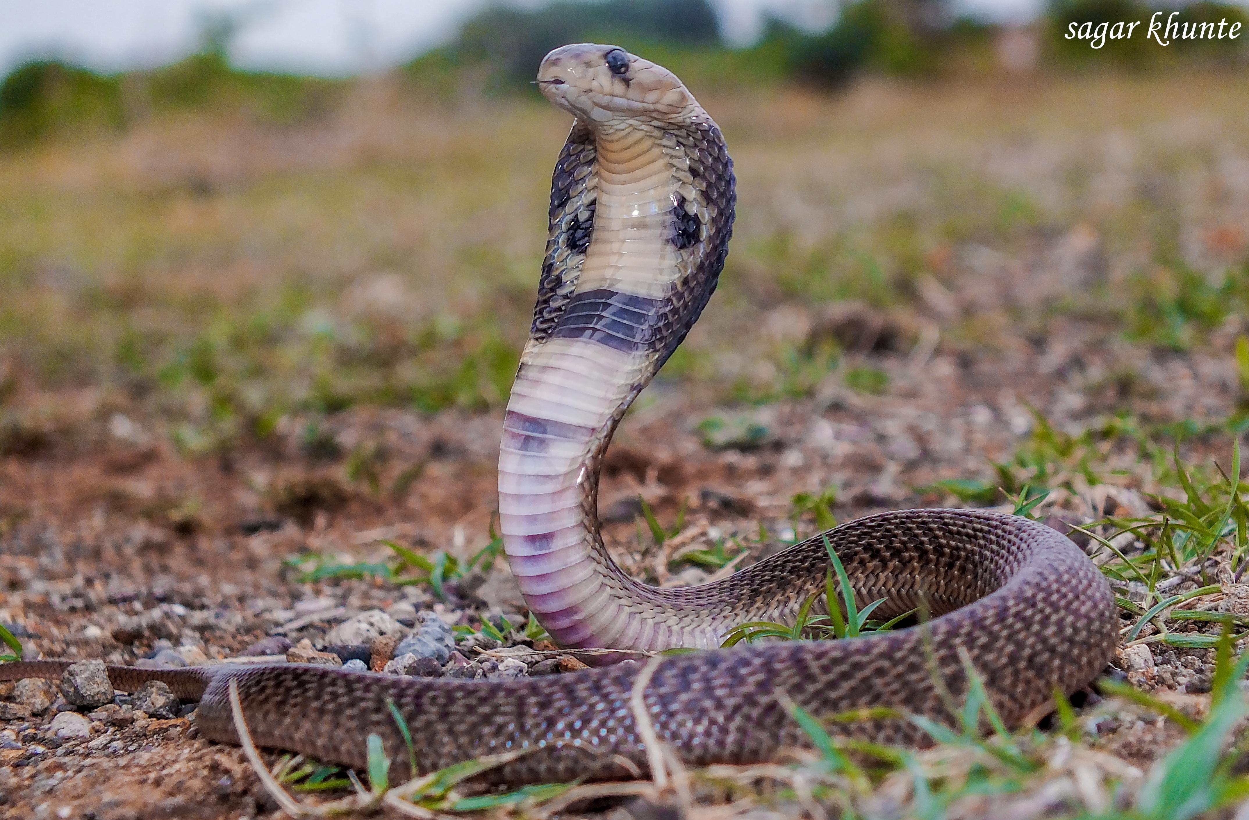 File:Indian spectecled cobra naja naja.jpg - Wikimedia Commons