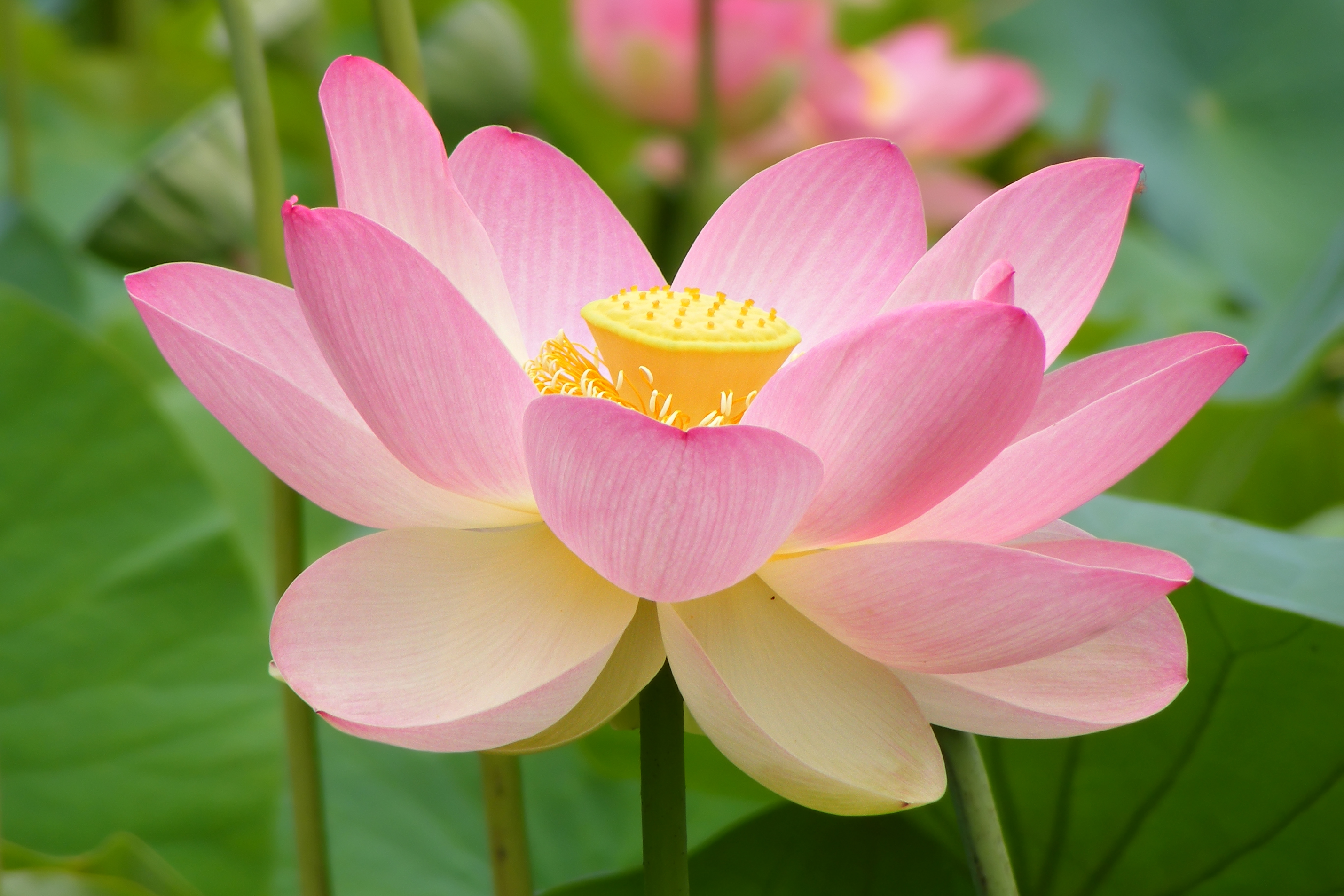 Filenelumno Nucifera Open Flower Botanic Garden Adelaide Edit3