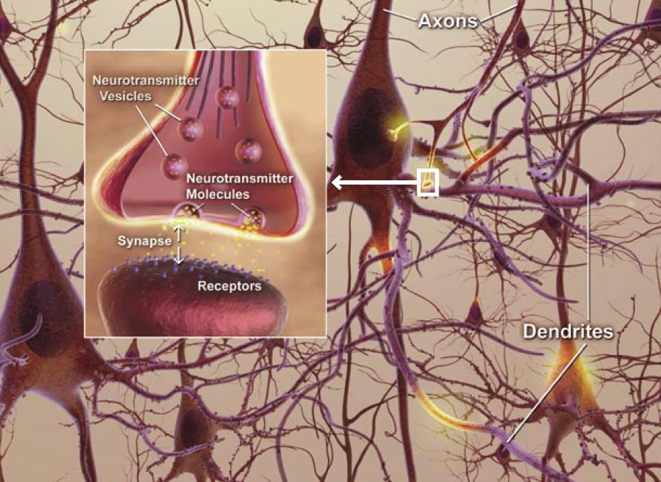 Brain Axons Dendrites Axons-dendrites-synapses