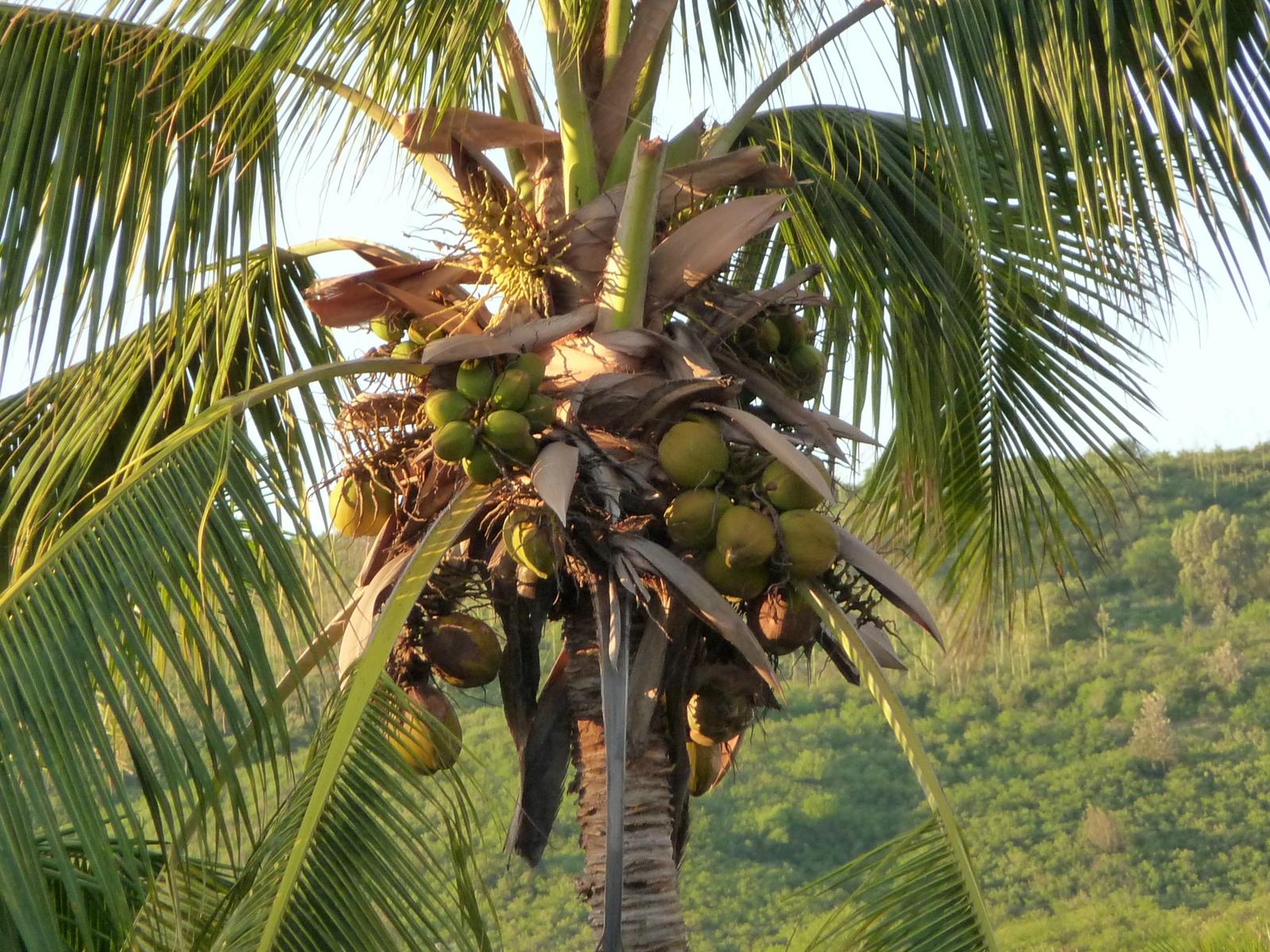 File noix de coco sur le cocotier 3476055384 jpg - Palmier cocotier ...