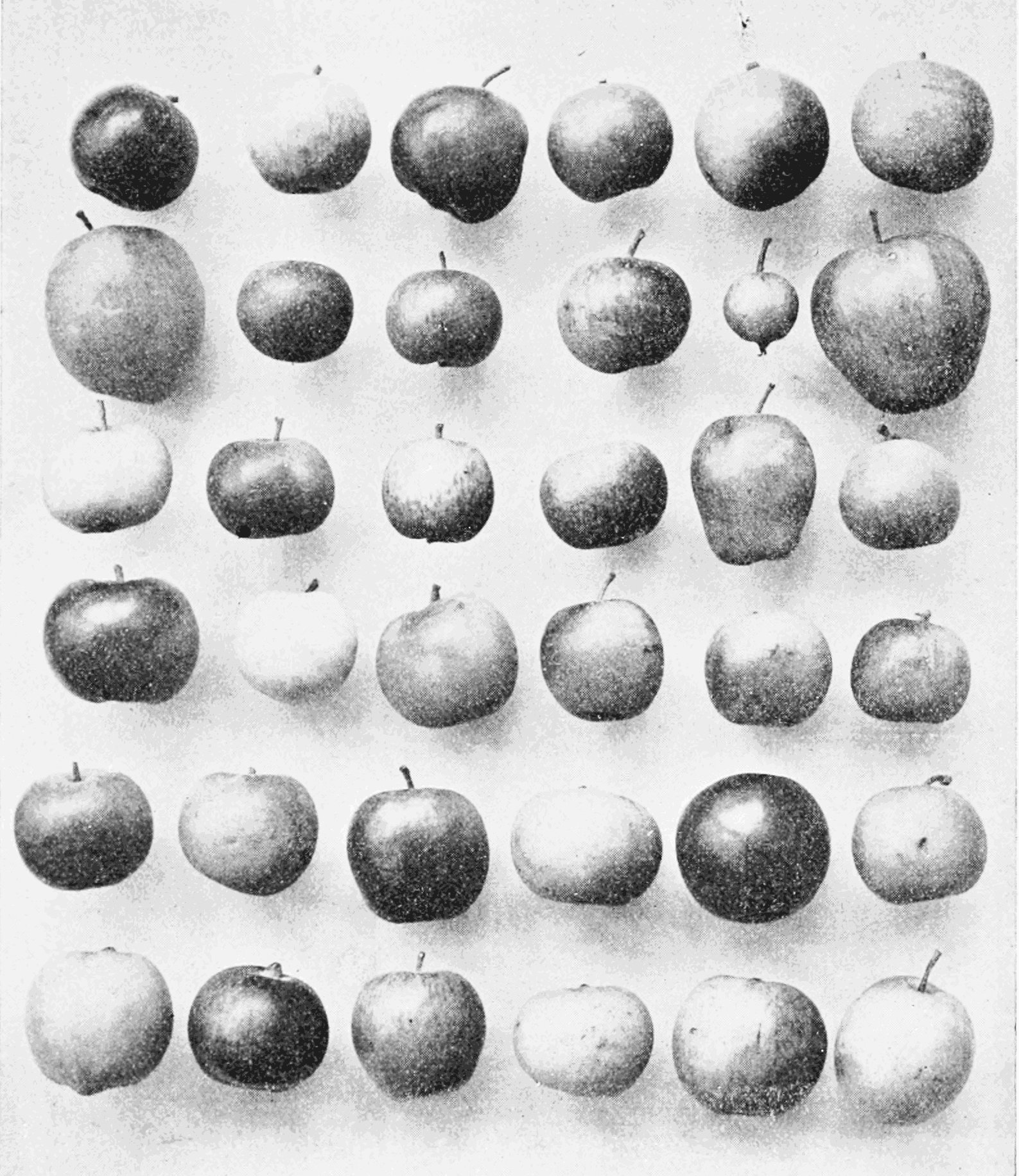 PSM V66 D217 Early williams apples of a single variety.png