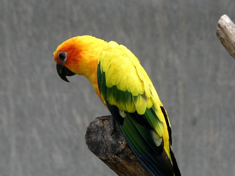 Parrot - Jardim dos Louros, Funchal, Madeira