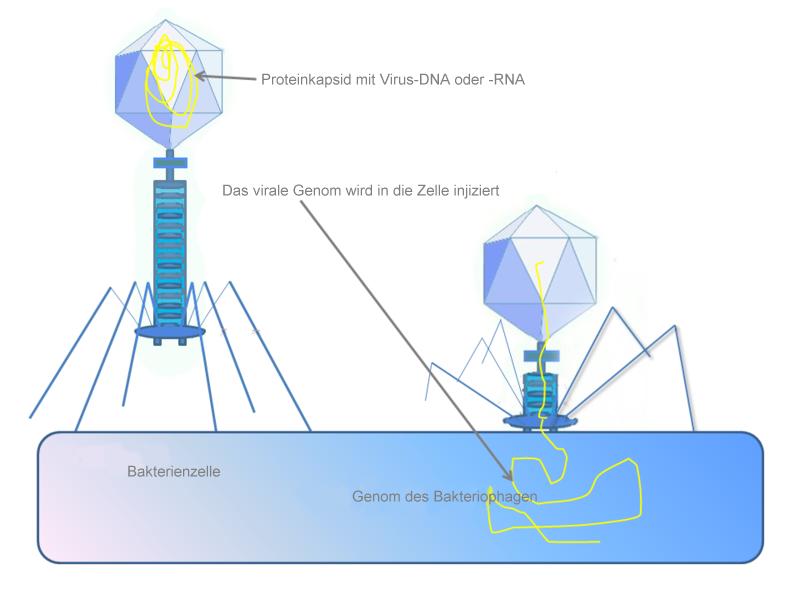 File:Phage injiziert sein Genom in Bakterienzelle.png