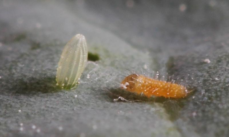 Pieris rapae caterpillar from egg