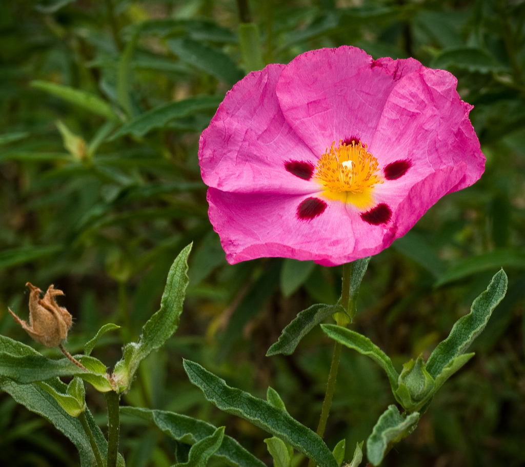Filepink Flower 3065615186g Wikimedia Commons