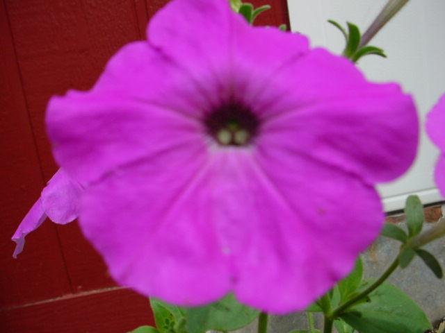 البتونيا الرائعة البتونيا Pinkpetuniaflower.JP