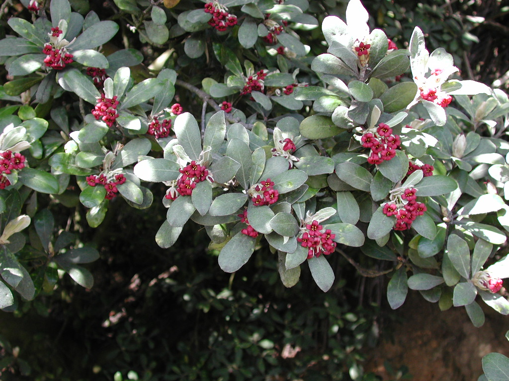 http://upload.wikimedia.org/wikipedia/commons/c/c6/Pittosporum_crassifolium_%28foliage_%26_flowers%29.jpg