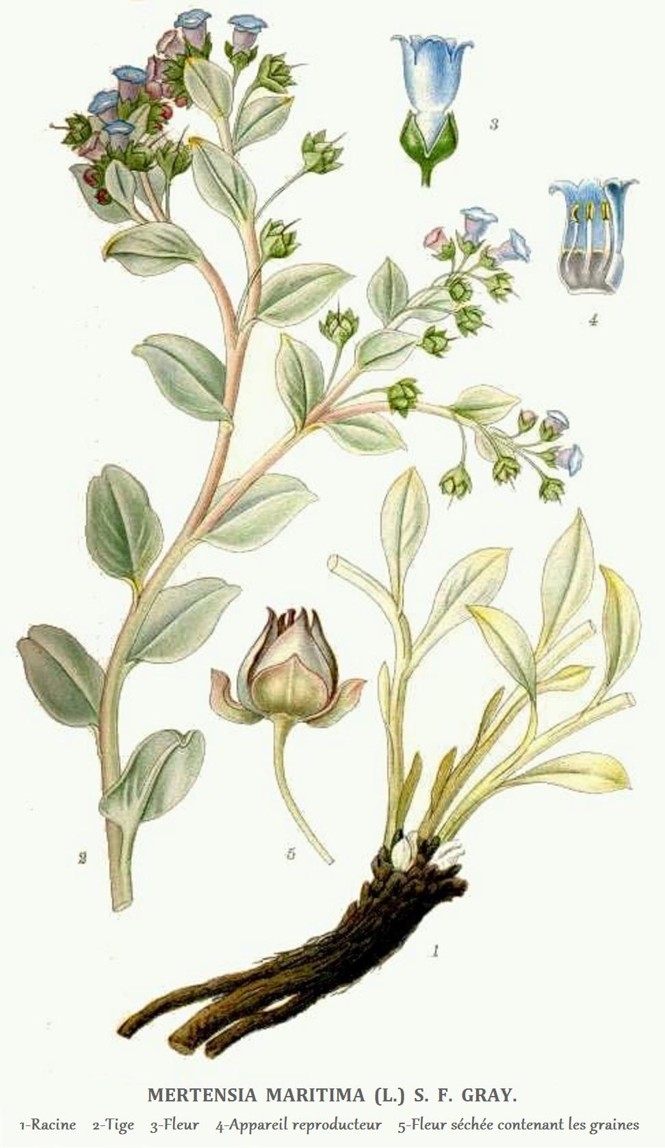 Mertensie maritime wikip dia for Plante huitre