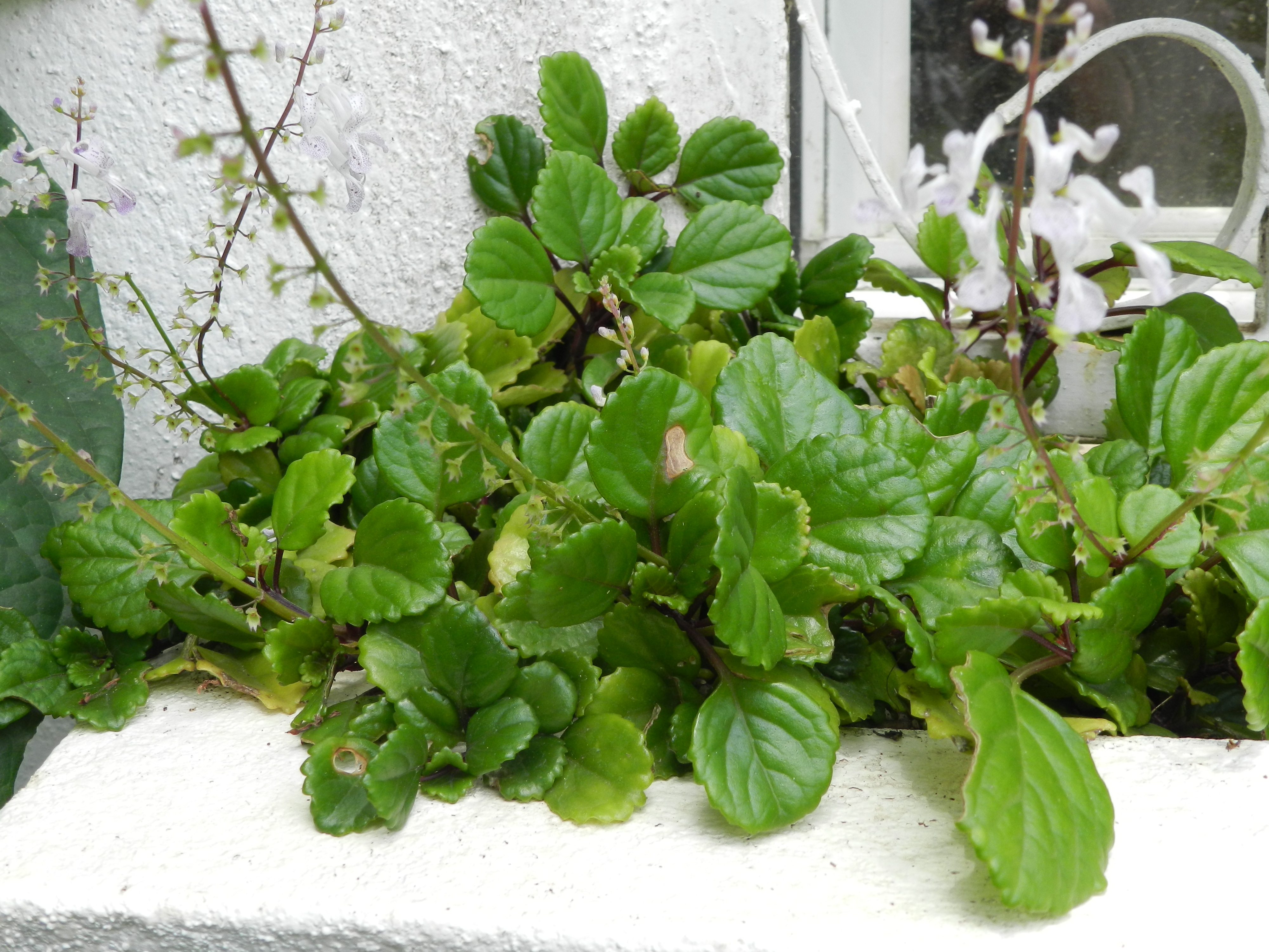 File plectranthus verticillatus 1 jpg wikimedia commons for Plante interieur